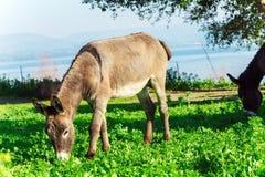Cute Donkey Eating Green Grass near Lake Stock Photos