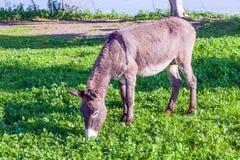 Cute Donkey Eating Green Grass near Lake. Cute Donkey Eating Green Grass Royalty Free Stock Photo