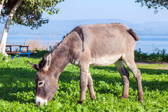 Cute Donkey Eating Green Grass near Lake. Cute Donkey Eating Green Grass Royalty Free Stock Photos