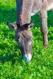 Cute Donkey Eating Green Grass near Lake. Cute Donkey Eating Green Grass Royalty Free Stock Image