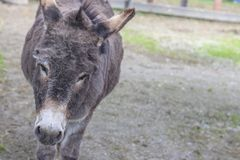Cute donkey on a farm. A cute donkey on a farm Stock Image