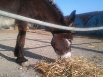 Cute donkey in the farm eating animals. Cute donkey eating Royalty Free Stock Images