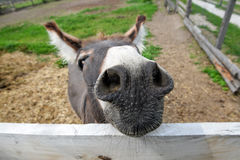 Cute donkey on the farm Royalty Free Stock Images