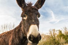 Donkey in the countryside. A cute donkey on a farm in Tuscany Stock Image