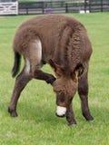 Cute Donkey Foal. A cute donkey foal has a scratch outside in a paddock Royalty Free Stock Photography