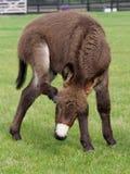 Cute Donkey Foal. A cute donkey foal has a scratch outside in a paddock Royalty Free Stock Image