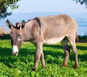 Cute Donkey. With Green Grass and Lake Royalty Free Stock Photos