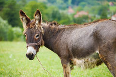 Cute donkey. On the green meadow Stock Image