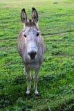 Cute Donkey. Cute, grey donkey is looking Stock Photo