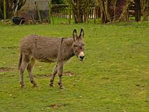 Cute donkey in a meadow - Equus africanus asinus stock photography