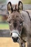 Cute Donkey Portrait. A portrait of a cute miniature donkey Stock Photos