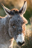 Cute Donkey portrait. In a field in rural Ireland Royalty Free Stock Images
