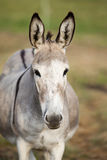 Cute donkey Portrait frontal Royalty Free Stock Image
