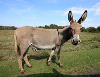 Cute donkey posing for the camera in the New Forest in England royalty free stock photography