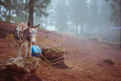 Cute donkey standing sideways near the pine forest on early misty morning ready to work.  Royalty Free Stock Photo