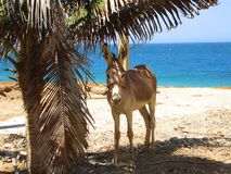 Cute donkey under the palm tree. Cute donkey hiding from the hot sun under the palm tree Stock Photography