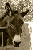 Cute donkey. Very cute donkey in a farm Stock Images