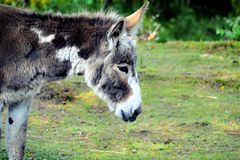 Cute donkey. Very cute grey donkey Royalty Free Stock Image