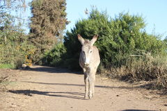 Cute donkey. Cute white donkey in the middle of the road Royalty Free Stock Photography