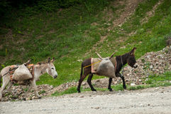 Cute donkeys carrying heavy supplies. Group of donkeys carry heavy load on a rural path Stock Photo
