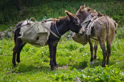 Cute donkeys Royalty Free Stock Photography