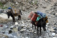 Cute donkeys used as porters in the mountains Royalty Free Stock Photo