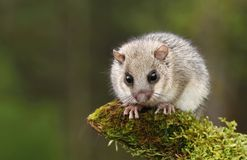 Cute dormouse. Adorable hairy dormouse on branch Stock Image