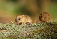 Cute dormouses Royalty Free Stock Image