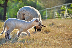 Cute Dorset Down Spring lamb running playing in pasture Royalty Free Stock Images
