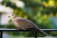 Cute dove Royalty Free Stock Image