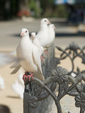 Cute doves Stock Images