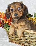 Cute Doxie Puppy. Little Dachshond puppy sitting in a basket with flowers behind her on a white background royalty free stock photography
