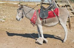 Cute dozing donkey. In waiting for tourists Stock Images