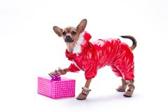 Cute dressed chihuahua with gift box. Adorable russian toy chihuahua in beautiful red costume putting paw on pink gift box, isolated on white background Stock Images