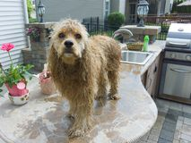 Cute dripping wet golden cocker spaniel pup. Standing on top of the counter in an outdoor kitchen after being bathed in the sink royalty free stock photos