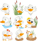 Cute duck in action set collection. With duck in different situations like, standing duck, hiding duck, flying duck, swimming duck, learning to swim duck Stock Photography
