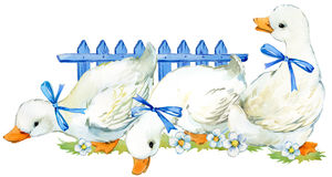 Cute duck. domestic farm bird watercolor illustration. Royalty Free Stock Photography