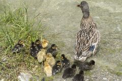 Duck and duckling on lake. Cute duck and duckling on lake Royalty Free Stock Photography