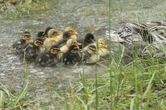 Duck and duckling on lake. Cute duck and duckling on lake Royalty Free Stock Images