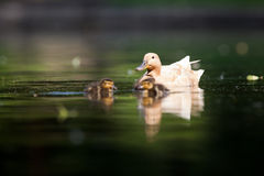 Cute duck family. On a pond stock photo
