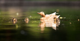 Cute duck family. On a pond royalty free stock photography