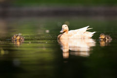 Cute duck family. On a pond stock photos