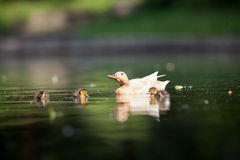 Cute duck family. On a pond stock photography