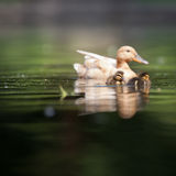 Cute duck family. On a pond royalty free stock image