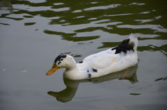 a cute duck Stock Photography