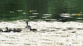 Cute duck with a flock of ducklings swim in pond stock video footage