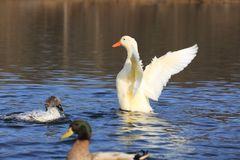 Cute duck playing. In the pond Stock Photography