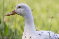 Duck rest on lake. Cute duck rest on lake Royalty Free Stock Images