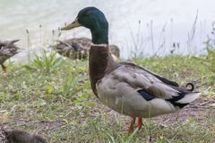 Duck rest on lake. Cute duck rest on lake Royalty Free Stock Photo