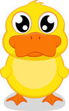 Cute Duck standing Royalty Free Stock Photo